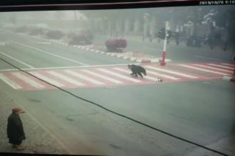 Urs fugărit pe străzile din Mediaș. Animalul a fost alungat în mediul său natural