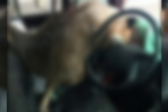 Animalul care a provocat panică într-un microbuz școlar. A trecut prin parbriz
