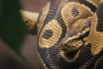 Piton birmanez uriaș, prins de doi vânători de șerpi. Este capabil să omoare un aligator