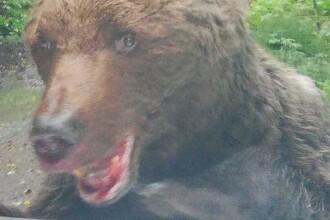 Urs extrem de agresiv in Busteni, spre Cascada Urlatoarea. A atacat muncitori si a muscat din bara masinii jandarmilor