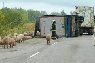 Peste 100 de porci, scăpați dintr-un camion după un accident. Cum s-a întâmplat