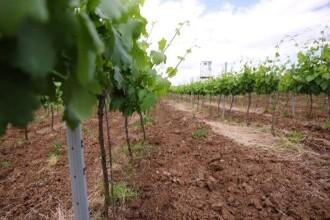 Cum poate prinde aripi o afacere în viticultură de la zero, cu ajutorul fondurilor europene