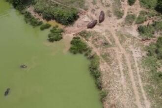 Hipopotamii lui Pablo Escobar vor fi sterilizați, după ce au distrus ecosistemul