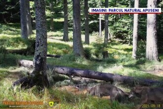 Imagini rare cu doi lupi, au fost suprinse într-o pădure din Parcul Natural Apuseni