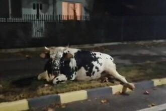 Dâmbovița: O vacă lovită de o mașină a fost lăsată ore în șir să agonizeze pe un trotuar