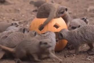 Halloween în avans la o grădină zoologică din Marea Britanie. Animalele au primit dovleci umpluți cu bunătăți