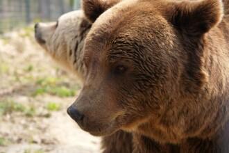 Un barbat din Prahova a fost sfasiat de un urs!