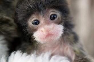 Maimutica tamarin, nascuta la o gradina zoologica din Idaho