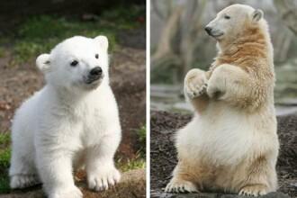 Knut, cel mai cunoscut urs polar, a murit in conditii misterioase. VIDEO