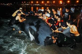 IMAGINEA ZILEI! Eforturi disperate pentru salvarea unei balene esuate!