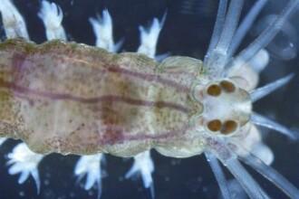 Descoperire de senzatie: Creierul unui vierme marin, inrudit cu cel uman