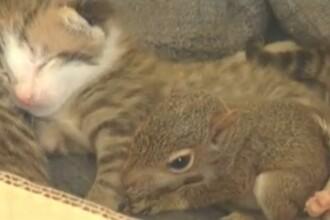 Imagini inedite! Lucky, puiul de veverita care toarce!