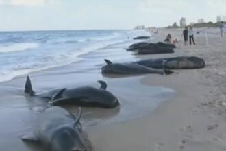 Gest impresionant al unor turisti. S-au luptat pentru a tine in viata 22 de balene esuate pe o plaja