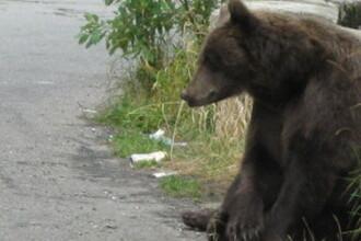 Ursul care a atacat 3 oameni in Pietrosita era turbat si a fost impuscat. Zona,in carantina pe 30 km