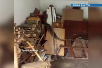 Un barbat din Satu Mare a gasit in garaj un piton de 3 metri. Explicatia proprietarului reptilei