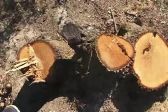 Peste 1.866 de arbori taiati ilegal in judetul Maramures