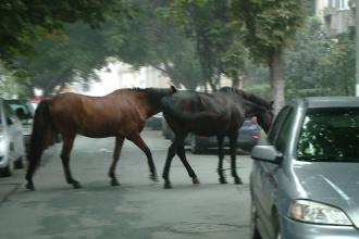 Timisoara, anul 2013: doi cai nesupravegheati au iesit la