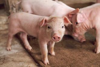 Cum arata porcul cu trompa venit pe lume la o ferma din China. Nu a supravietuit mai mult de doua ore. FOTO