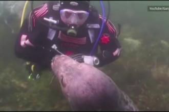 Intalnire incredibila pe fundul marii. Ce s-a intamplat in momentul in care o foca s-a apropiat de un scafandru. VIDEO