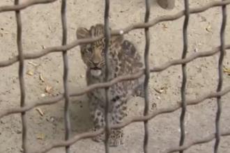 Trei pui de leopard, prezentati in premiera vizitatorilor de la Gradina Zoologica din Rostov-pe-Don, din Rusia