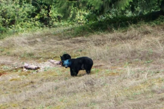 Urs cu capul albastru fotografiat in Canada. Cum explica specialistii