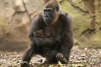Imagini sfasietoare: momentul in care o gorila femela nu se poate desparti de puiul ei, mort de o saptamana