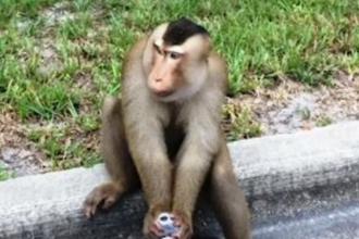 O maimuta a scapat din casa stapanilor sai si si-a facut de cap pe strazile din Florida. Imaginile surprinse de un politist
