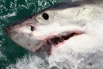 Moment unic, surprins in adancul oceanului. Un scafandru a fost fotografiat in timp ce atingea nasul unui rechin alb urias