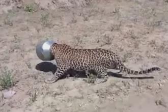 Aventura unui leopard insetat care a intrat intr-un sat in cautare de apa. Cum a ajuns cu capul blocat intr-o oala