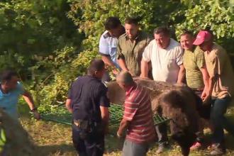 Urs de 200 de kilograme, salvat dupa ce a ramas blocat intr-un gard de sarma. Imagini din timpul operatiunii