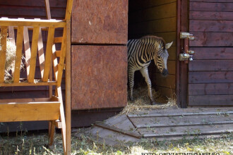 A doua zebra moarta in conditii misterioase, la Gradina Zoologica din Timisoara. Dupa