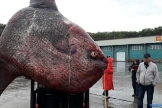 Peşte-lună uriaş, prins în Siberia. A fost dat apoi de mâncare urşilor