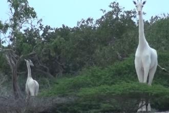 Fotografia rară a două exemplare de girafă albă, surprinse în Kenya