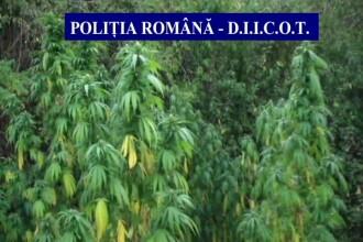 Canabisul, cel mai popular drog în România. Cât de mult a crescut consumul în ultimii ani