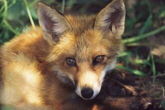 Un pui de vulpe din Slovacia a devenit vegan. Cum a fost surprins în pădure