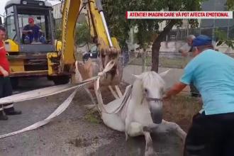 Un cal a căzut în canalizare, într-un oraş din Satu Mare.