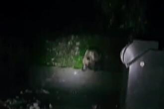 Un pui de urs a rămas captiv într-un container, în Băile Tușnad. Reacția ursoaicei