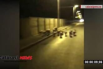 Porci filmați plimbându-se pe străzi în Călărași. Gestul unui fermier de teama pestei