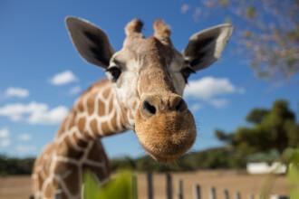 Familie în stare critică, după ce i-a atacat o girafă