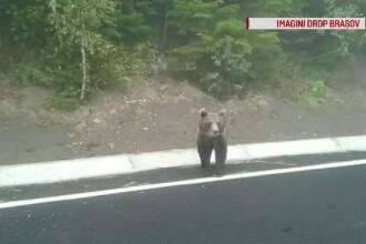 Un urs a ieşit la şosea, pe drumul între Covasna şi Vrancea. Ce căuta