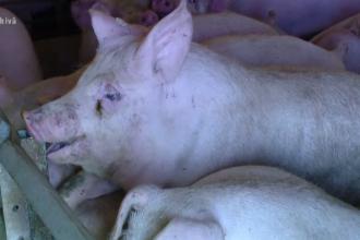 Zona din România cea mai afectată de pesta porcină. Vânătorii au început să omoare animalele sălbatice