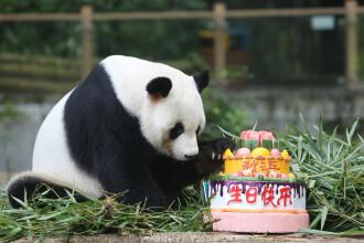 Ursul panda gigant Qiu Bang își sărbătorește ziua de naștere în Parcul Safari din Shenzhen