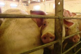 """Porcii cu pestă din Dâmbovița, """"operați și tratați"""" de un fost veterinar"""
