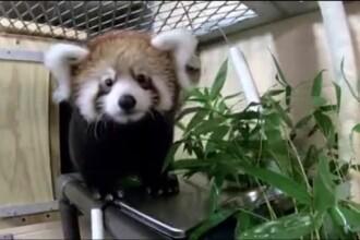 Un pui de panda roşu a fost prezentat cu mândrie de o grădină zoologică