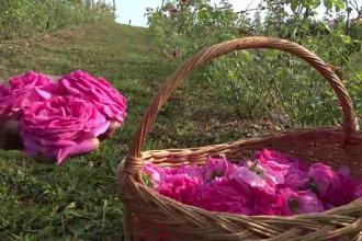 Pariu câștigat de cei care au mizat pe culturile de trandafiri. Suma cu care vând un kg de petale