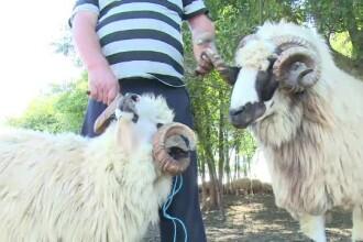 Oile româneşti, fără partener din cauză că berbecii sunt prea firavi.