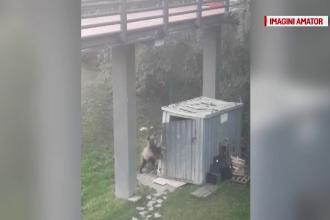 O ursoaică cu 3 pui și-a făcut apariția în curtea unui hotel din Predeal