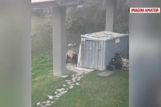 Urs, filmat cum distruge o ușă închisă cu lacăt. Paznicii s-au înarmat cu clopoțel și fluier
