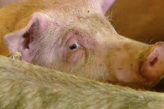 Un fermier din Galaţi a observat că porcii lui au un comportament ciudat. Ce a urmat