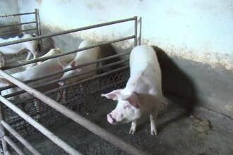 Ce a pățit un bărbat depistat că transporta ilegal porci